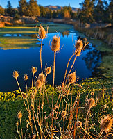 Sunset Teasels